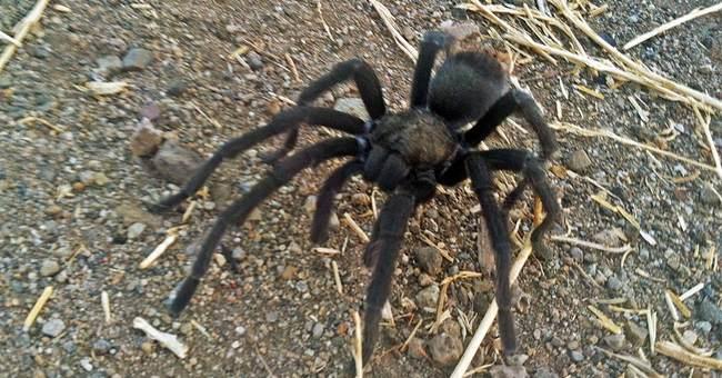 Tarantulas looking for love in California; hikers warned