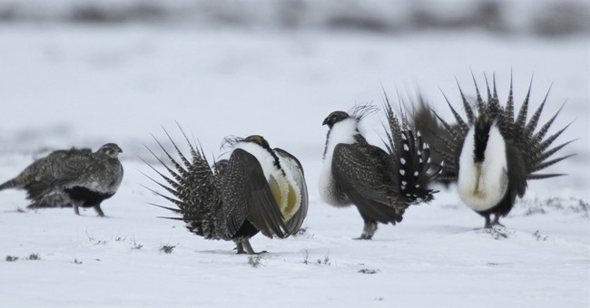 US takes key step to implement sage grouse conservation plan