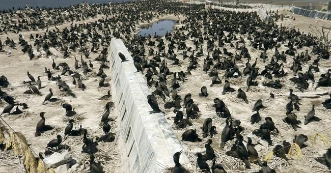 Correction: Cormorant Killing story