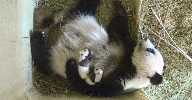 Baby panda twins born at Vienna zoo are brother and sister