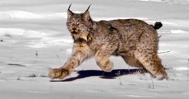 Judge says US should reconsider habitat for Canada lynx