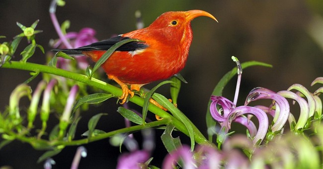 Climate change blamed for collapse of Hawaiian forest birds