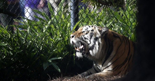 LSU's tiger mascot will not take the field this season