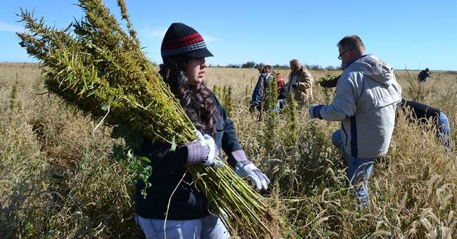 Colorado hits another cannabis 1st with certified hemp seed