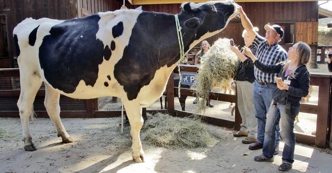 Holy cow! California steer vies for world's tallest bovine