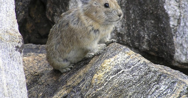 Protections rejected for American pika, other species