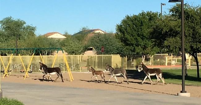 Home on the playground? Burros roam onto Phoenix-area school