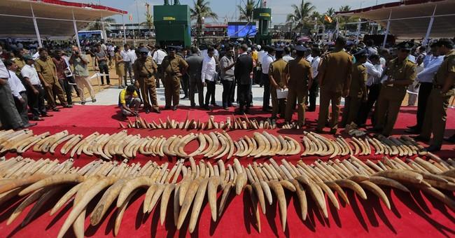 Sri Lankan authorities begin destroying seized ivory