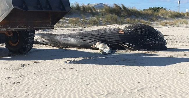 Dead humpback whale washes up on beach in New Jersey