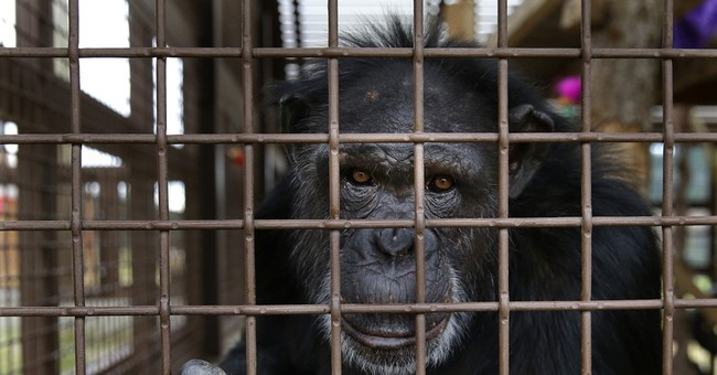 Sanctuaries across US prepare for influx of lab chimpanzees