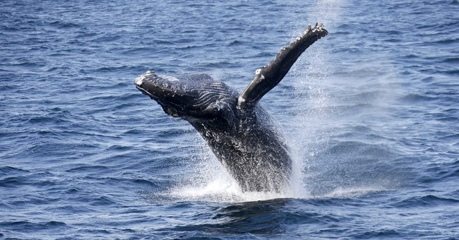 California governor backs protecting whales from crab traps