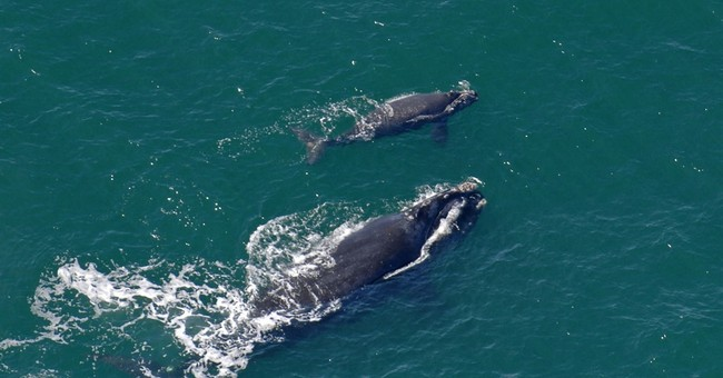 Feds expand critical East Coast habitat for right whales