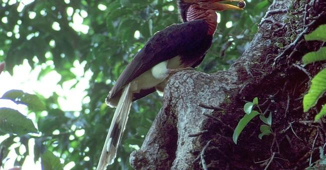 Poachers target rare bird's 'ivory' beak in Southeast Asia