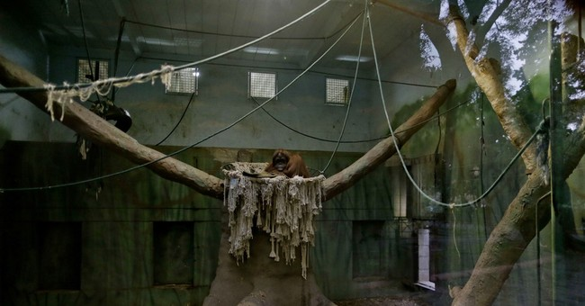 In Argentina, freedom still distant for Sandra the orangutan