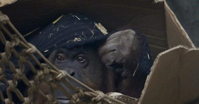 In Argentina, freedom still distant for Sandra the orangutan
