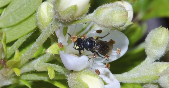 Feds list 7 Hawaii bee species as endangered, a first in US