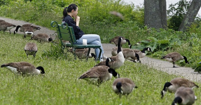 US cities increasingly dealing with messy goose poop problem