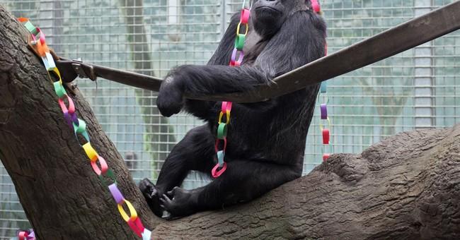 Oldest living gorilla has a new great-grandbaby, JJ