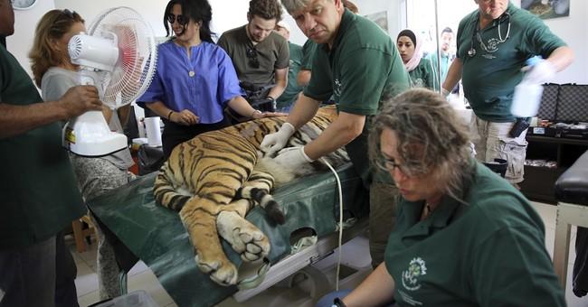 Rescued tigers, bear get new life in Jordan wildlife refuge