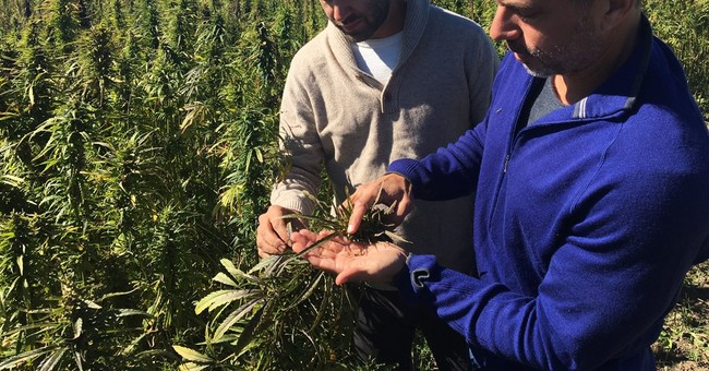 Not pot: US hemp farms take root under state pilot programs
