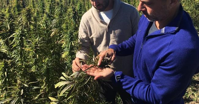 Not pot: US hemp farms take root under state pilot programs