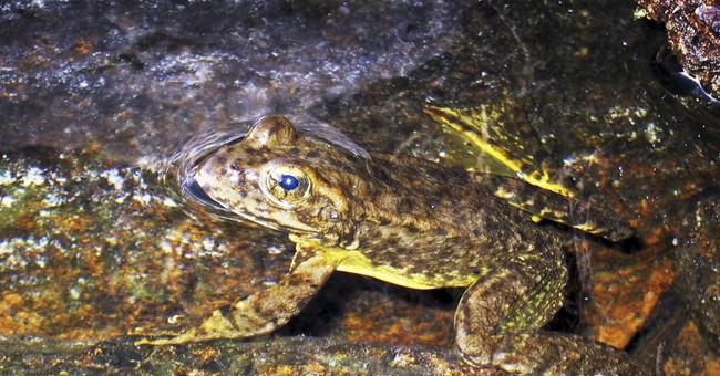 Scientists: Endangered frog rebounding in Yosemite park