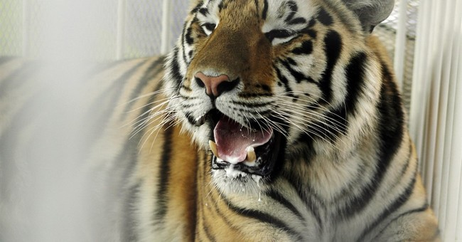 Vet: LSU's tiger mascot has 1-2 months to live with cancer