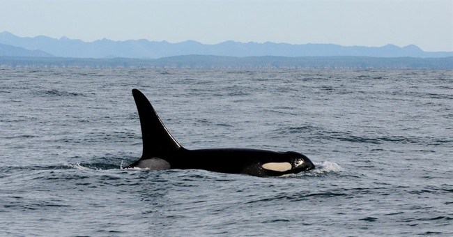 Tagging point of infection that contributed to orca's death