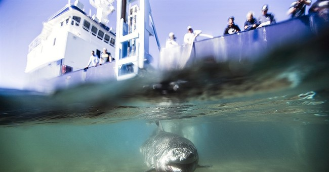 Research group confirms white shark nursery off Long Island