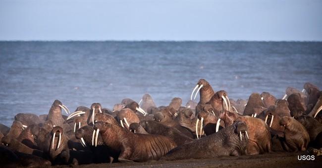 Walrus begin arriving near Alaska village in annual event