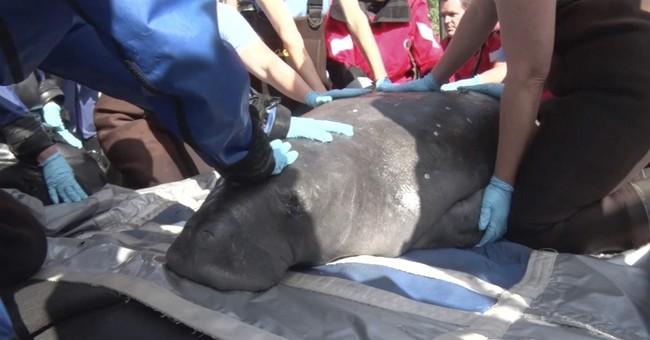 Connecticut aquarium holds public viewing of rescued manatee