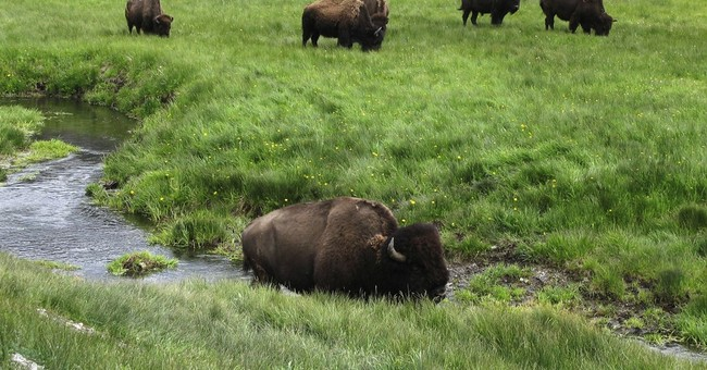 Researchers work to spread prized genes of Yellowstone bison