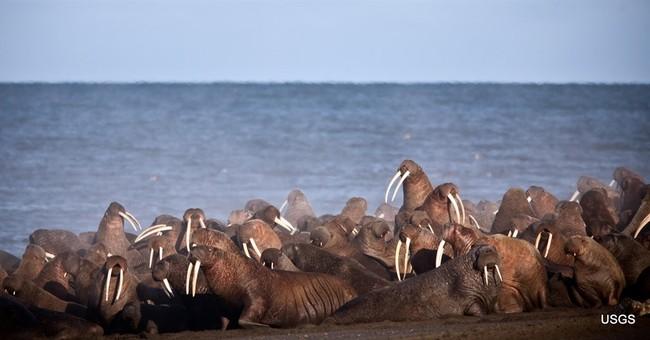 As walrus arrive, Alaska village tells visitors to stay away