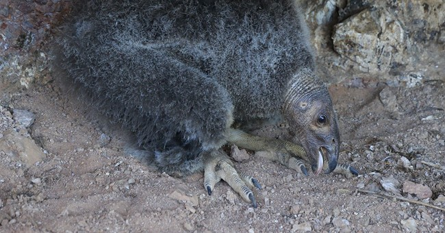 Condor chick born in wild flies from nest at California park