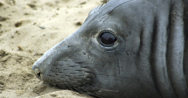 Elephant seal sets record by swimming farthest west