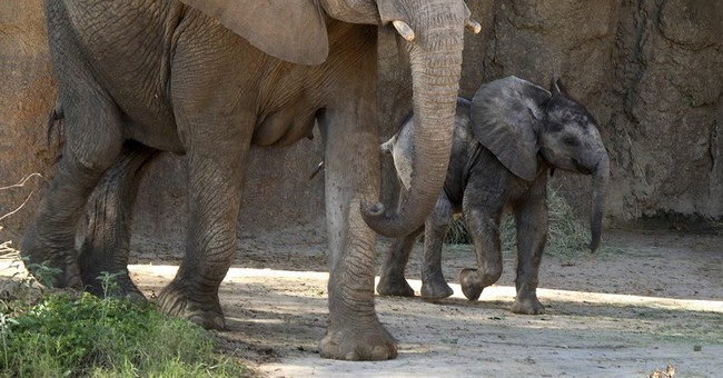 Welcome Ajabu! Dallas Zoo unveils male baby elephant
