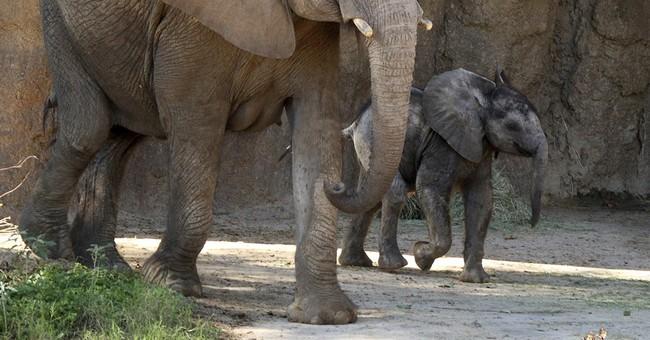 Welcome Ajabu! Dallas Zoo unveils male baby elephant