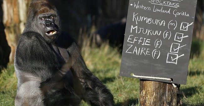 London Zoo calls gorilla escape 'minor'; others see risks