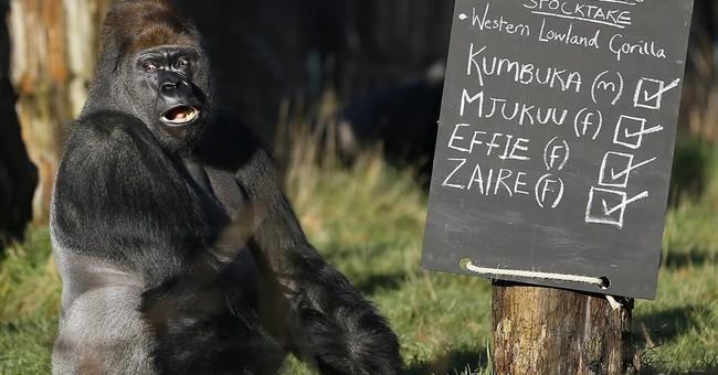 London Zoo calls gorilla escape 'minor'; others see risks