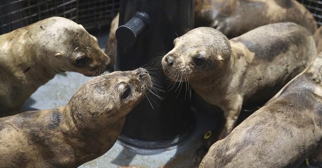 Environmentalists free orphaned sea lions near Peru capital