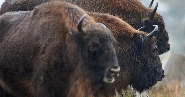 DNA study reveals European bison's extinct parentage