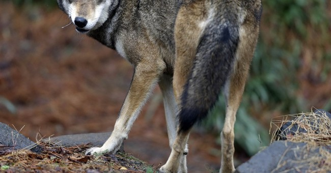 Scientists say study was misinterpreted in red wolf decision