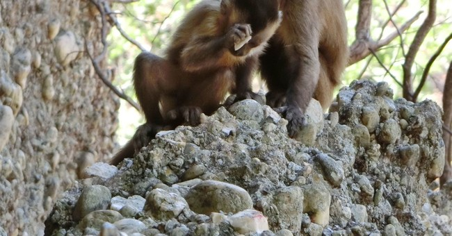 Rock-smashing monkeys make flakes like early stone tools