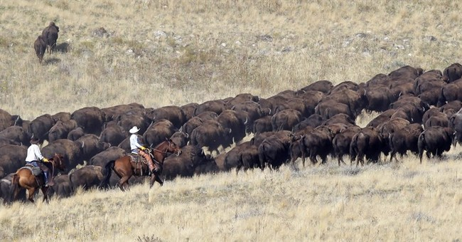 Riders do annual roundup of Utah bison herd