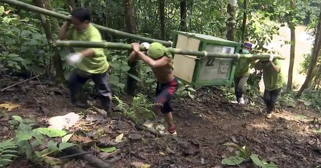 Rehabilitated orangutans freed in Borneo as species dwindles