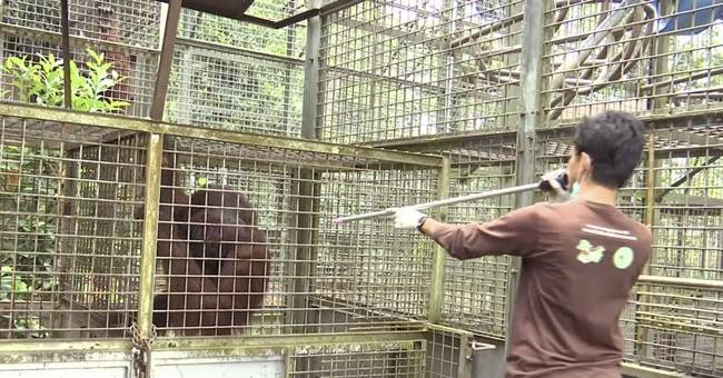 Rehabilitated orangutans freed in Borneo as species dwindles