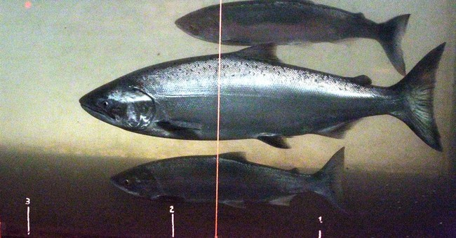 More Pacific Coast hatchery salmon could receive protections