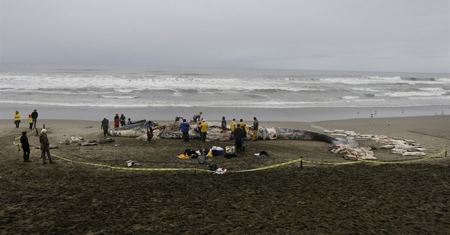 Dead beached whale found to have skull fractures