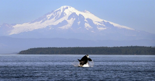 Scientists call for breaching dams to save Puget Sound orcas