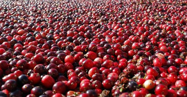 Cranberries squashed as folk remedy for urinary infections